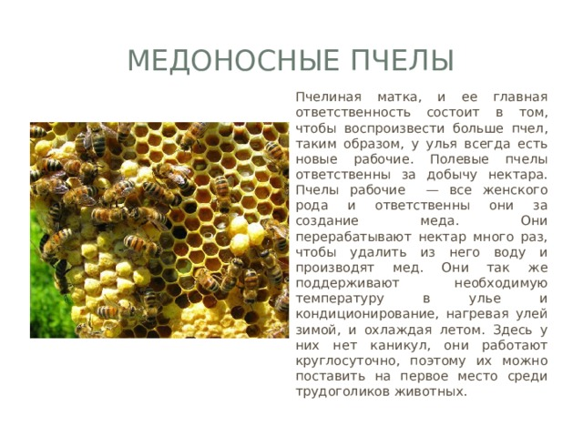 Медоносные пчелы Пчелиная матка, и ее главная ответственность состоит в том, чтобы воспроизвести больше пчел, таким образом, у улья всегда есть новые рабочие. Полевые пчелы ответственны за добычу нектара. Пчелы рабочие — все женского рода и ответственны они за создание меда. Они перерабатывают нектар много раз, чтобы удалить из него воду и производят мед. Они так же поддерживают необходимую температуру в улье и кондиционирование, нагревая улей зимой, и охлаждая летом. Здесь у них нет каникул, они работают круглосуточно, поэтому их можно поставить на первое место среди трудоголиков животных.