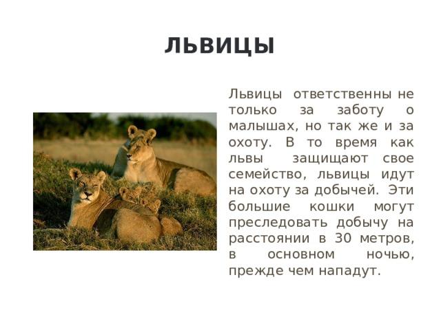 Львицы Львицы ответственны не только за заботу о малышах, но так же и за охоту. В то время как львы защищают свое семейство, львицы идут на охоту за добычей. Эти большие кошки могут преследовать добычу на расстоянии в 30 метров, в основном ночью, прежде чем нападут.