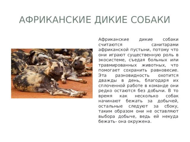 Африканские дикие собаки Африканские дикие собаки считаются санитарами африканской пустыни, потому что они играют существенную роль в экосистеме, съедая больных или травмированных животных, что помогает сохранить равновесие. Эта разновидность охотится дважды в день, благодаря их сплоченной работе в команде они редко остаются без добычи. В то время как несколько собак начинают бежать за добычей, остальные следуют за сбоку, таким образом они не оставляют выбора добыче, ведь ей некуда бежать- она окружена.
