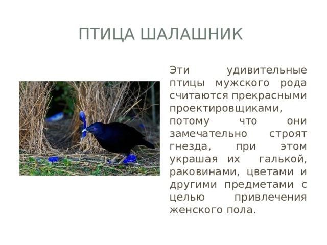 Птица шалашник Эти удивительные птицы мужского рода считаются прекрасными проектировщиками, потому что они замечательно строят гнезда, при этом украшая их галькой, раковинами, цветами и другими предметами с целью привлечения женского пола.