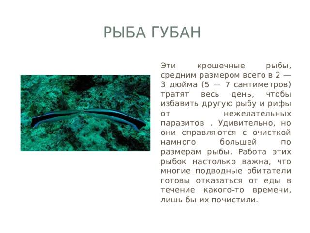 Рыба губан Эти крошечные рыбы, средним размером всего в 2 — 3 дюйма (5 — 7 сантиметров) тратят весь день, чтобы избавить другую рыбу и рифы от нежелательных паразитов . Удивительно, но они справляются с очисткой намного большей по размерам рыбы. Работа этих рыбок настолько важна, что многие подводные обитатели готовы отказаться от еды в течение какого-то времени, лишь бы их почистили.