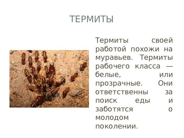 Термиты Термиты своей работой похожи на муравьев. Термиты рабочего класса — белые, или прозрачные. Они ответственны за поиск еды и заботятся о молодом поколении.