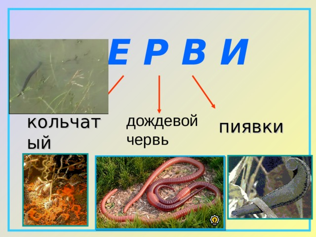 Ч Е Р В И кольчатый червь дождевой  червь пиявки