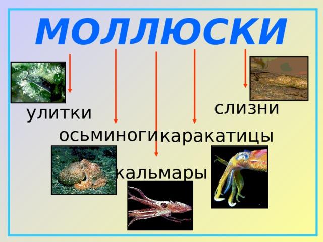МОЛЛЮСКИ слизни улитки осьминоги каракатицы кальмары
