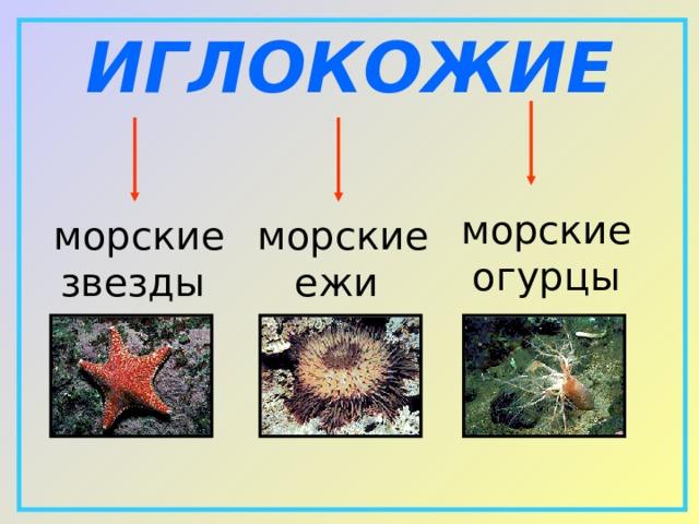 ИГЛОКОЖИЕ морские огурцы морские звезды морские ежи