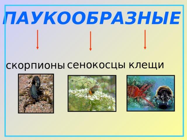 ПАУКООБРАЗНЫЕ  сенокосцы клещи скорпионы