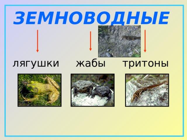 ЗЕМНОВОДНЫЕ лягушки  жабы  тритоны