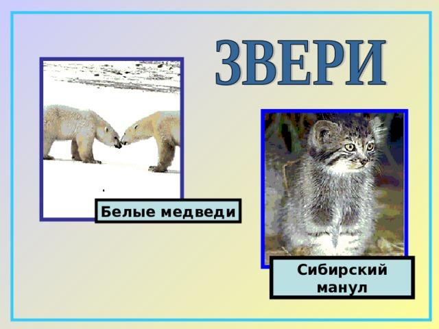 Белые медведи C ибирский манул