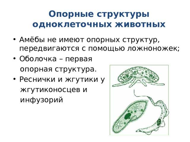 Опорные структуры одноклеточных животных Амёбы не имеют опорных структур, передвигаются с помощью ложноножек; Оболочка – первая  опорная структура. Реснички и жгутики у  жгутиконосцев и  инфузорий
