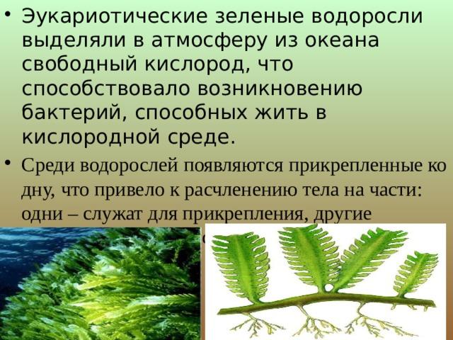 Эукариотические зеленые водоросли выделяли в атмосферу из океана свободный кислород, что способствовало возникновению бактерий, способных жить в кислородной среде. Среди водорослей появляются прикрепленные ко дну, что привело к расчленению тела на части: одни – служат для прикрепления, другие осуществляют процесс фотосинтеза.