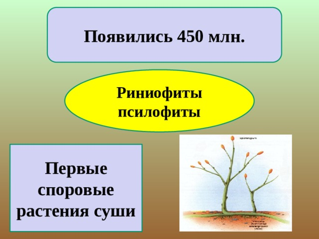 Появились 450 млн. Риниофиты псилофиты Первые споровые растения суши