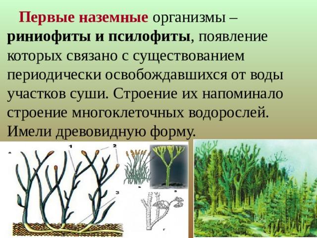 Первые наземные организмы – риниофиты и псилофиты , появление которых связано с существованием периодически освобождавшихся от воды участков суши. Строение их напоминало строение многоклеточных водорослей. Имели древовидную форму.