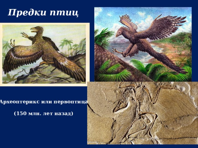 Предки птиц Археоптерикс или первоптица  (150 млн. лет назад)