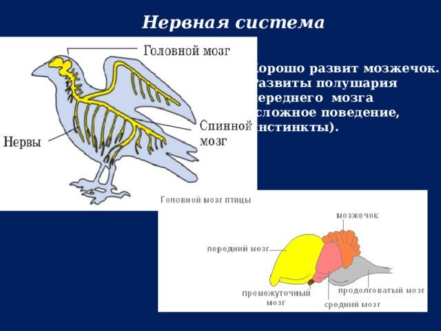 Нервная система Хорошо развит мозжечок. Развиты полушария переднего мозга (сложное поведение, инстинкты).