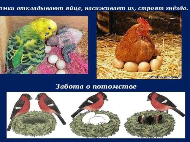 Самки откладывают яйца, насиживает их, строят гнёзда. Забота о потомстве