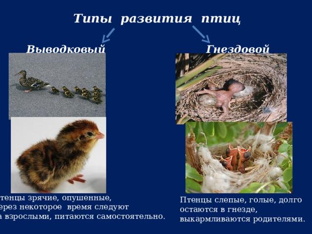 Типы развития птиц Выводковый Гнездовой Птенцы зрячие, опушенные, через некоторое время следуют за взрослыми, питаются самостоятельно. Птенцы слепые, голые, долго остаются в гнезде, выкармливаются родителями.