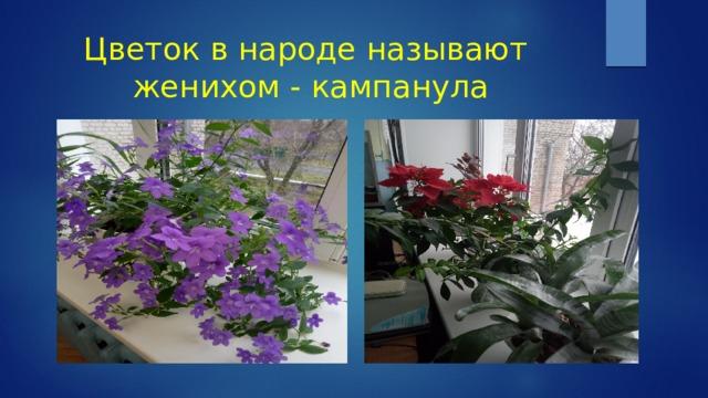 Цветок в народе называют женихом - кампанула