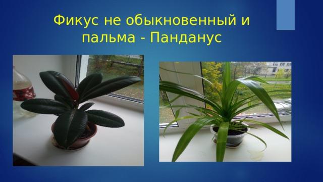 Фикус не обыкновенный и пальма - Панданус