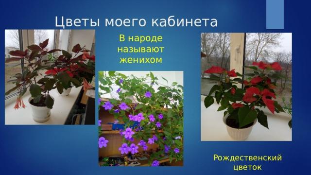 Цветы моего кабинета В народе называют женихом Рождественский цветок
