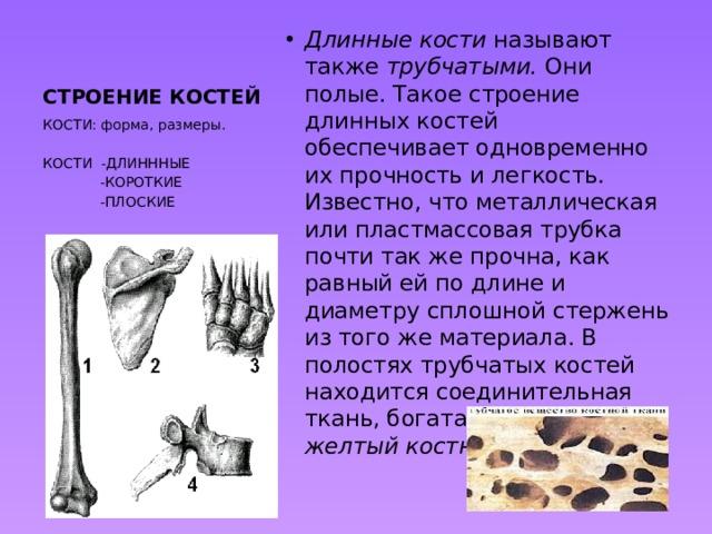 СТРОЕНИЕ КОСТЕЙ Длинные кости называют также трубчатыми. Они полые. Такое строение длинных костей обеспечивает одновременно их прочность и легкость. Известно, что металлическая или пластмассовая трубка почти так же прочна, как равный ей по длине и диаметру сплошной стержень из того же материала. В полостях трубчатых костей находится соединительная ткань, богатая жиром, - желтый костный мозг. КОСТИ: форма, размеры. КОСТИ -ДЛИНННЫЕ  -КОРОТКИЕ  -ПЛОСКИЕ
