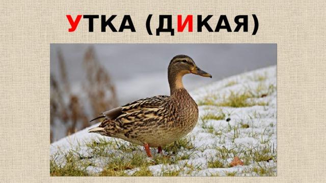 У ТКА (Д И КАЯ)