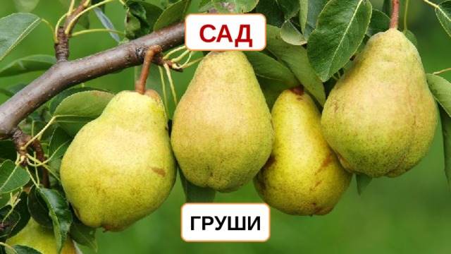 САД ГРУШИ