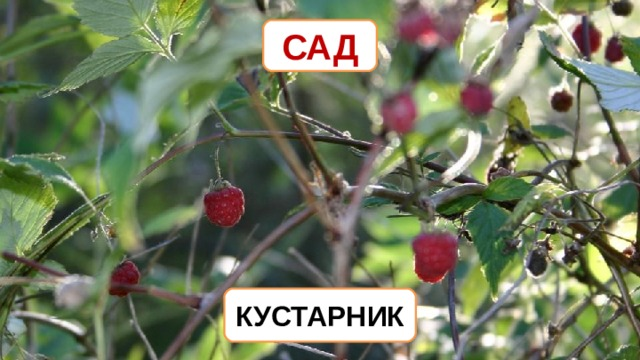 САД КУСТАРНИК