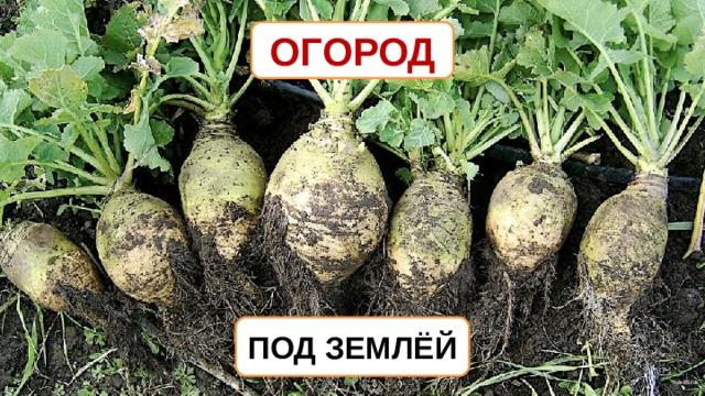 ОГОРОД ПОД ЗЕМЛЁЙ AxelBoldt