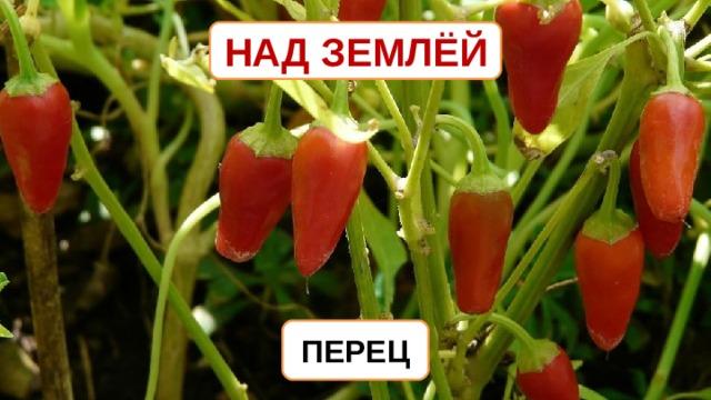 НАД ЗЕМЛЁЙ ПЕРЕЦ