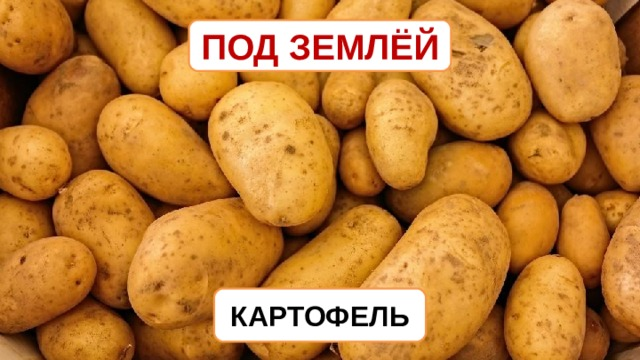 ПОД ЗЕМЛЁЙ КАРТОФЕЛЬ