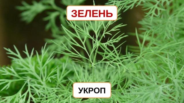 ЗЕЛЕНЬ УКРОП
