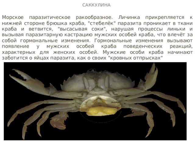 Саккулина Морское паразитическое ракообразное. Личинка прикрепляется к нижней стороне брюшка краба,