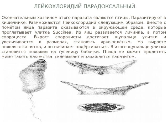 Лейкохлоридий парадоксальный Окончательным хозяином этого паразита являются птицы. Паразитируют в кишечнике. Размножаются Лейкохлоридий следующим образом. Вместе с помётом яйца паразита оказываются в окружающей среде, которые проглатывает улитка Succinea. Из яиц развивается личинка, а потом спороциста. Вырост спороцисты достигает щупальца улитки и увеличивается в размерах, становясь ярко-зелёным. На выросте появляются пятна, и он начинает подёргиваться. В итоге щупальце улитки становится похожим на гусеницу бабочки. Птица не может пролететь мимо такого лакомства, склёвывает и заражается паразитом.