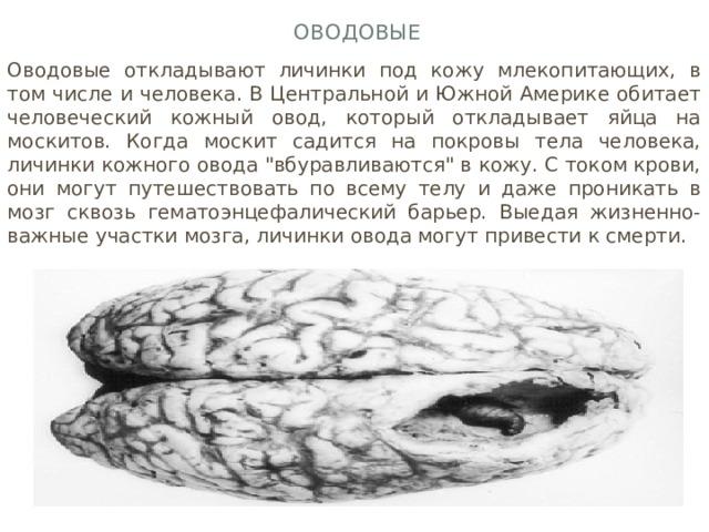 Оводовые Оводовые откладывают личинки под кожу млекопитающих, в том числе и человека. В Центральной и Южной Америке обитает человеческий кожный овод, который откладывает яйца на москитов. Когда москит садится на покровы тела человека, личинки кожного овода