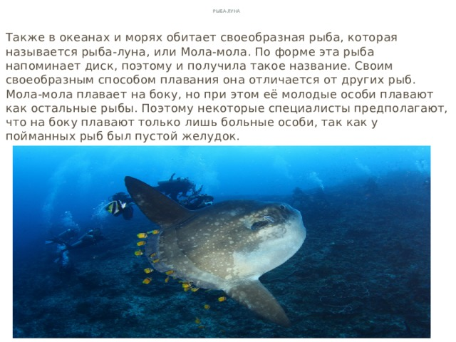 Рыба-луна Также в океанах и морях обитает своеобразная рыба, которая называется рыба-луна, или Мола-мола. По форме эта рыба напоминает диск, поэтому и получила такое название. Своим своеобразным способом плавания она отличается от других рыб. Мола-мола плавает на боку, но при этом её молодые особи плавают как остальные рыбы. Поэтому некоторые специалисты предполагают, что на боку плавают только лишь больные особи, так как у пойманных рыб был пустой желудок.