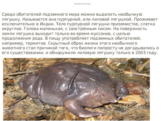 Лиловая лягушка Среди обитателей подземного мира можно выделить необычную лягушку. Называется она пурпурной, или лиловой лягушкой. Проживает исключительно в Индии. Тело пурпурной лягушки приземистое, слегка округлое. Голова маленькая, с заострённым носом. На поверхность земли лягушка выходит только во время муссонов, с целью продолжения рода. В пищу употребляет подземных обитателей, например, термитов. Скрытный образ жизни этого необычного животного стал причиной того, что биологи попросту не догадывались о его существовании, и обнаружили лиловую лягушку только в 2003 году.