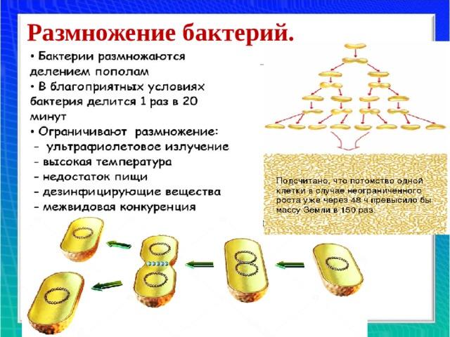 Размножение бактерий.
