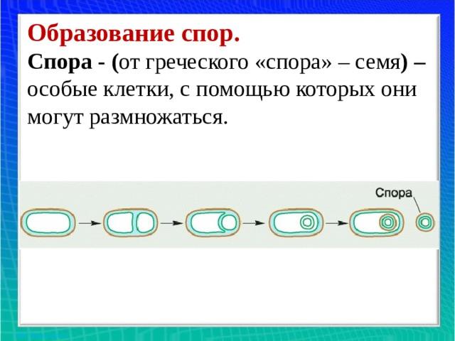 Образование спор.  Спора - ( от греческого «спора» – семя ) – особые клетки, с помощью которых они могут размножаться.