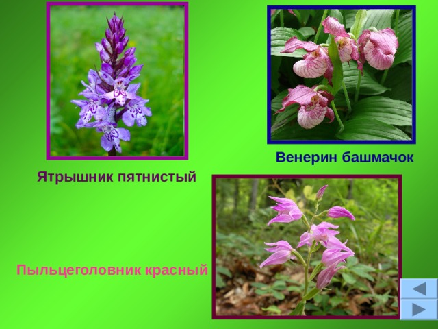 Венерин башмачок Ятрышник пятнистый Пыльцеголовник красный
