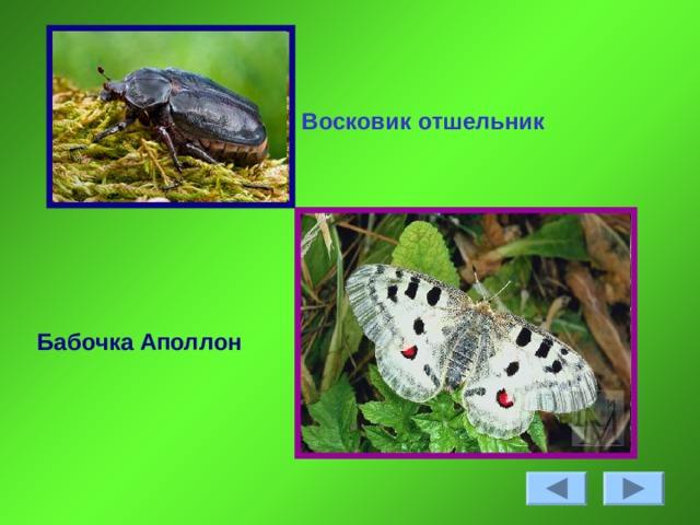 Восковик отшельник Бабочка Аполлон