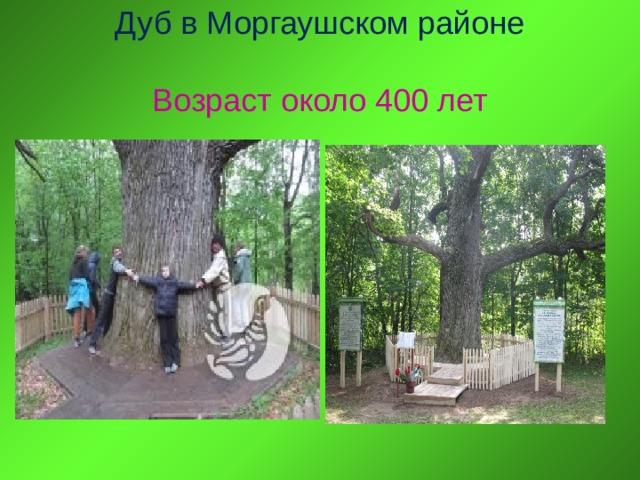 Дуб в Моргаушском районе   Возраст около 400 лет