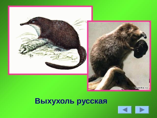 Выхухоль русская