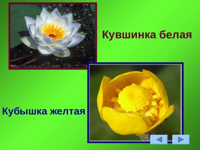 Кувшинка белая Кубышка желтая