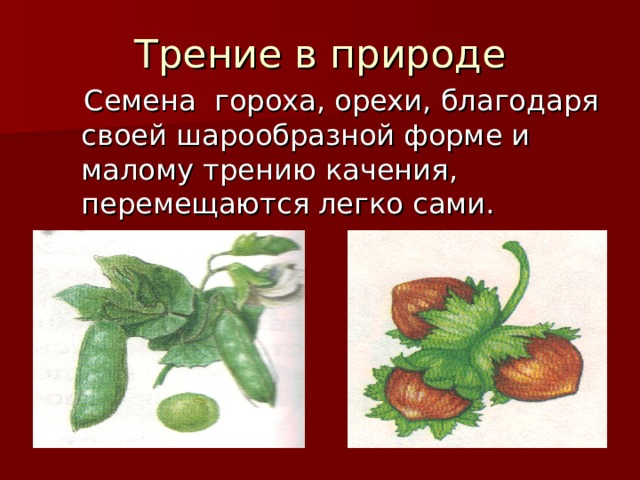Трение в природе  Семена гороха, орехи, благодаря своей шарообразной форме и малому трению качения, перемещаются легко сами.