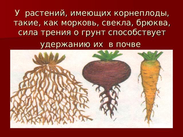 У растений, имеющих корнеплоды, такие, как морковь, свекла, брюква, сила трения о грунт способствует удержанию их в почве