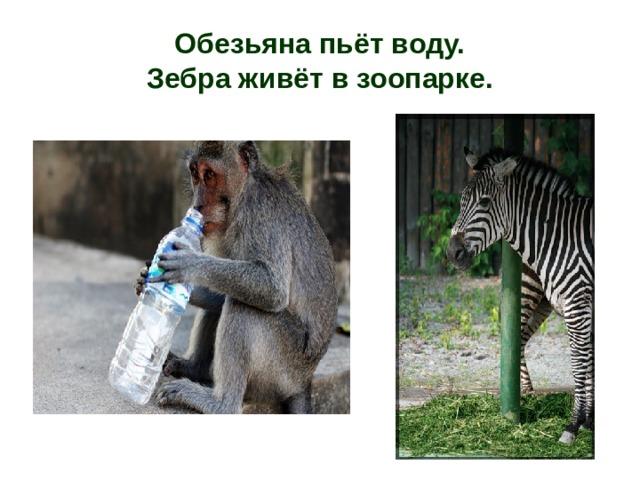 Обезьяна пьёт воду.  Зебра живёт в зоопарке.