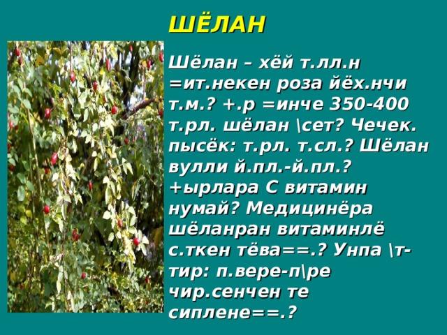 ШЁЛАН Шёлан – хёй т.лл.н =ит.некен роза йёх.нчи т.м.? +.р =инче 350-400 т.рл. шёлан \сет? Чечек. пысёк: т.рл. т.сл.? Шёлан вулли й.пл.-й.пл.? +ырлара С витамин нумай? Медицинёра шёланран витаминлё с.ткен тёва==.? Унпа \т-тир: п.вере-п\ре чир.сенчен те сиплене==.?