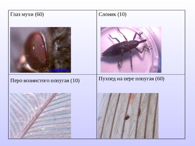 Глаз мухи (60) Слоник (10) Перо волнистого попугая (10)  Пухоед на пере попугая (60)