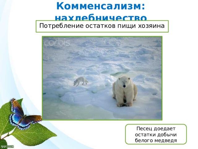 Комменсализм: нахлебничество Потребление остатков пищи хозяина Песец доедает остатки добычи белого медведя