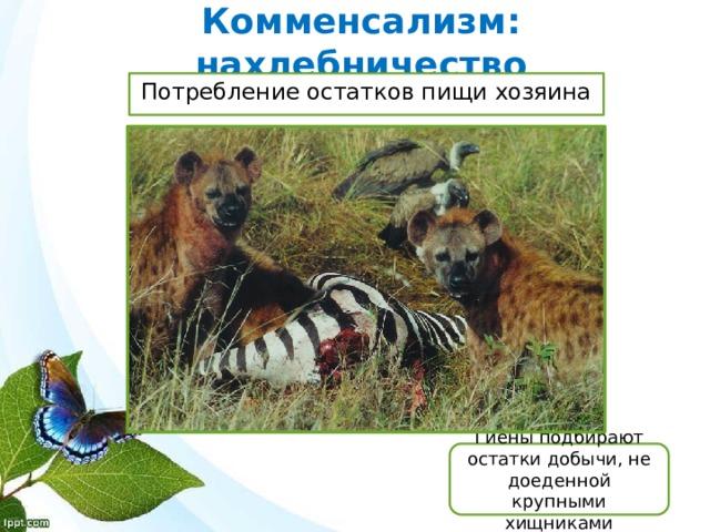 Комменсализм: нахлебничество Потребление остатков пищи хозяина Гиены подбирают остатки добычи, не доеденной крупными хищниками